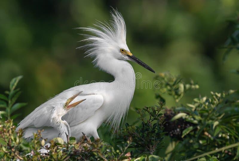 Egret nevado em Florida imagem de stock royalty free