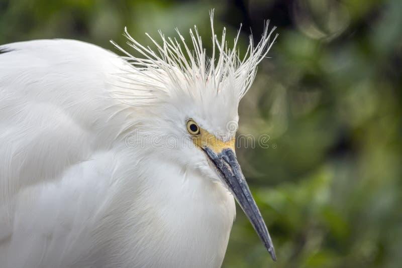 Egret nevado, garça-real do thula do Egretta fotos de stock