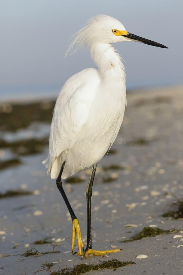Egret nevado - ilha de Estero, Florida imagens de stock royalty free