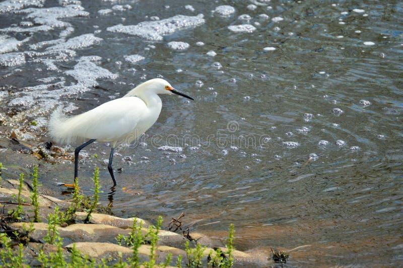 Egret nevado na borda do córrego fotografia de stock