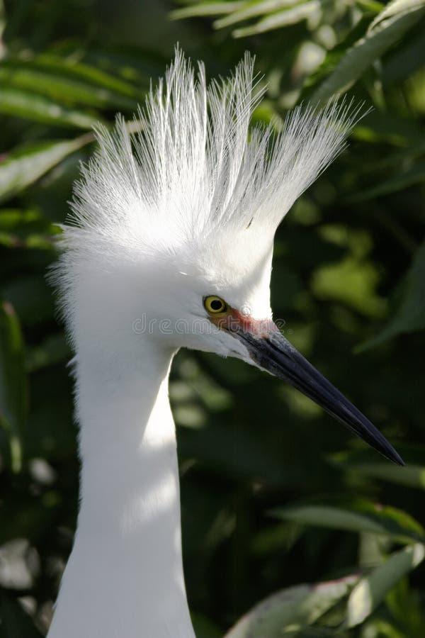 Egret nevado na plumagem da criação de animais imagens de stock
