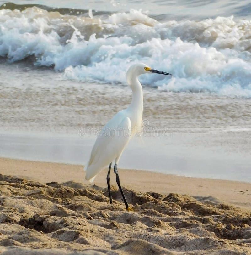 Egret nevado na praia foto de stock royalty free