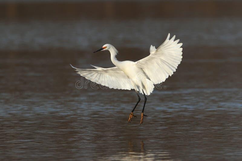 Egret nevado que entra para uma aterrissagem fotos de stock