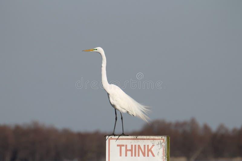 Egret nevado que lembra todos pensar imagem de stock royalty free