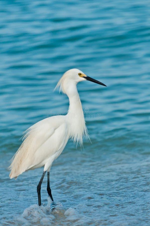 Egret nevado que vadeia em águas tropicais foto de stock royalty free