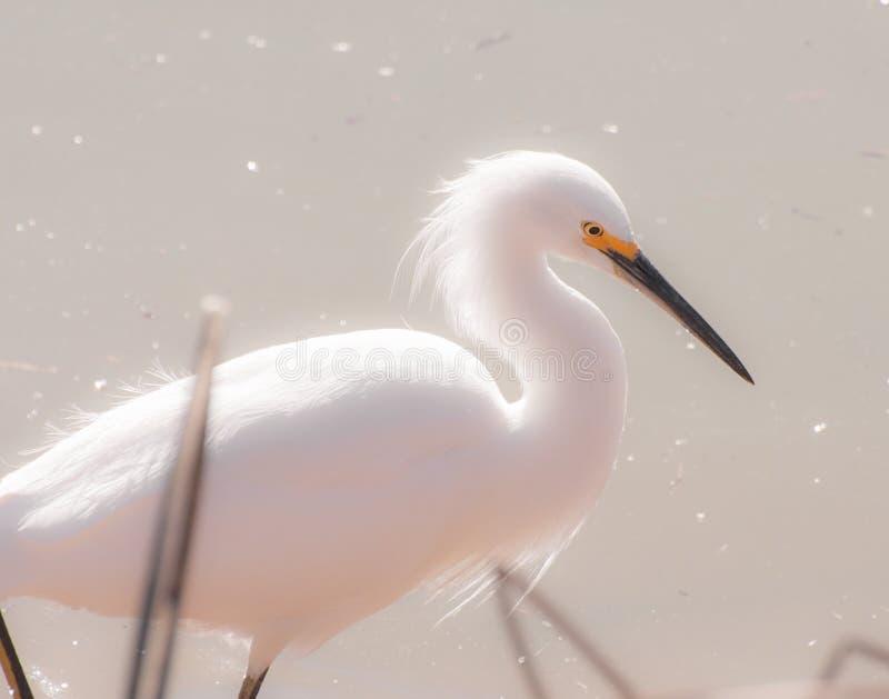 Egret nevado (thula del Egretta) imágenes de archivo libres de regalías