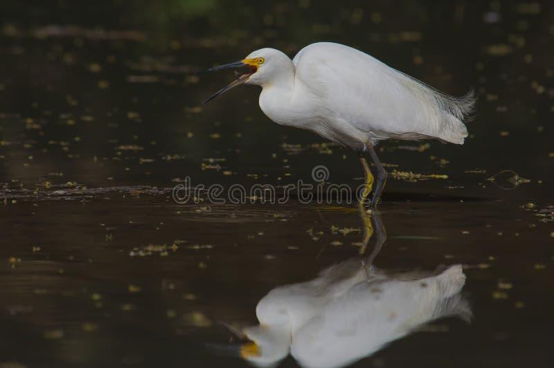 Egret nevado (thula del Egretta) imagen de archivo libre de regalías