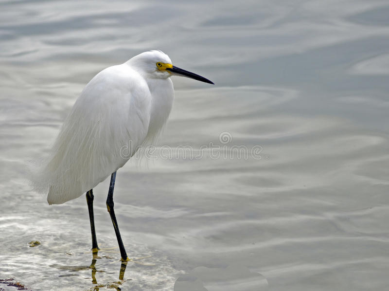 Egret nevado (thula del Egretta) imagenes de archivo