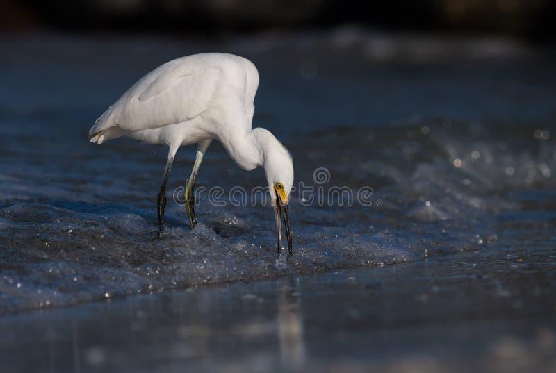 Egret nevado (thula do Egretta) foto de stock royalty free