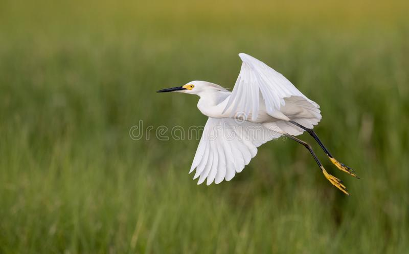 Egret nevado (thula do Egretta) imagem de stock royalty free