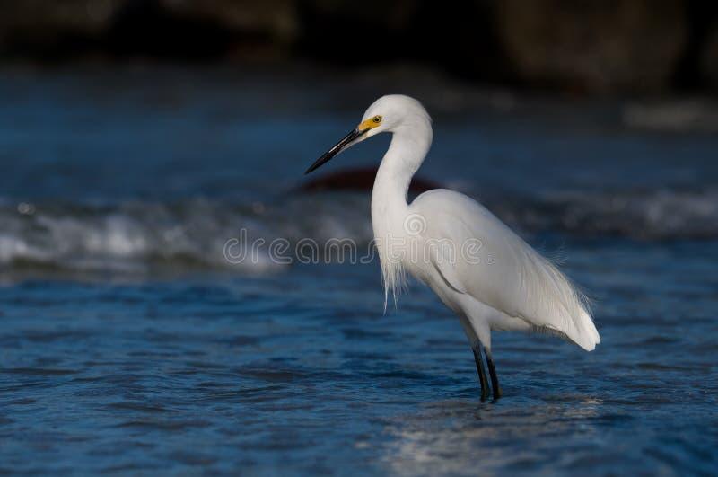 Egret nevado (thula do Egretta) fotos de stock royalty free