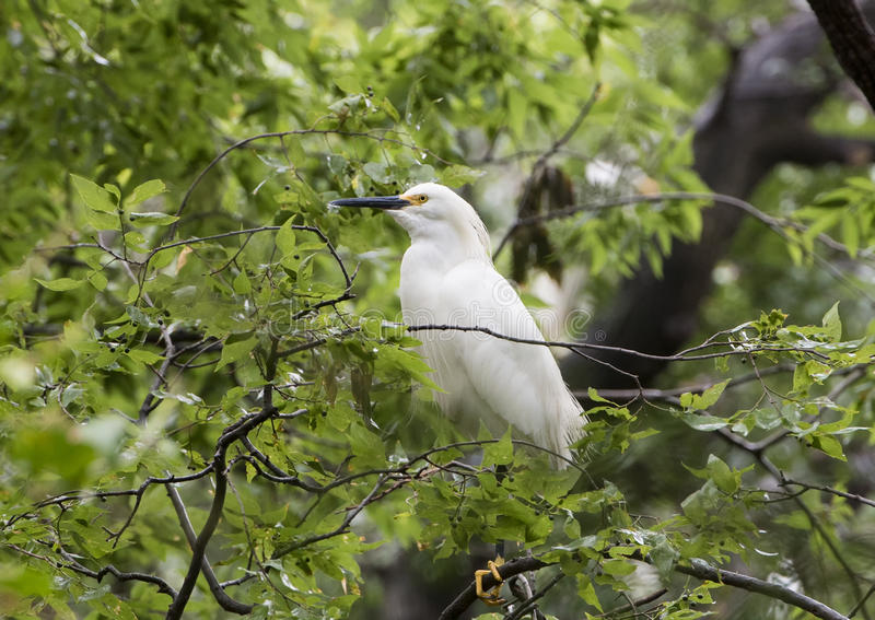 Egret nevado (thula do Egretta) foto de stock