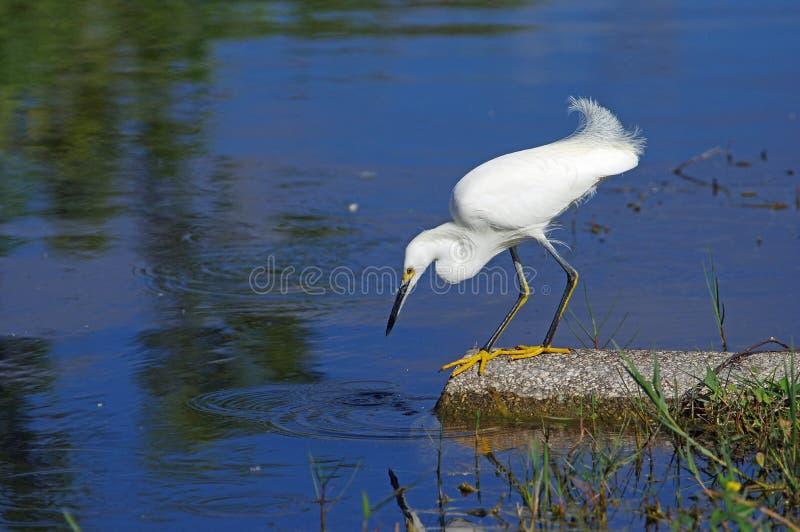 Egret nevado - thula do Egretta imagens de stock royalty free
