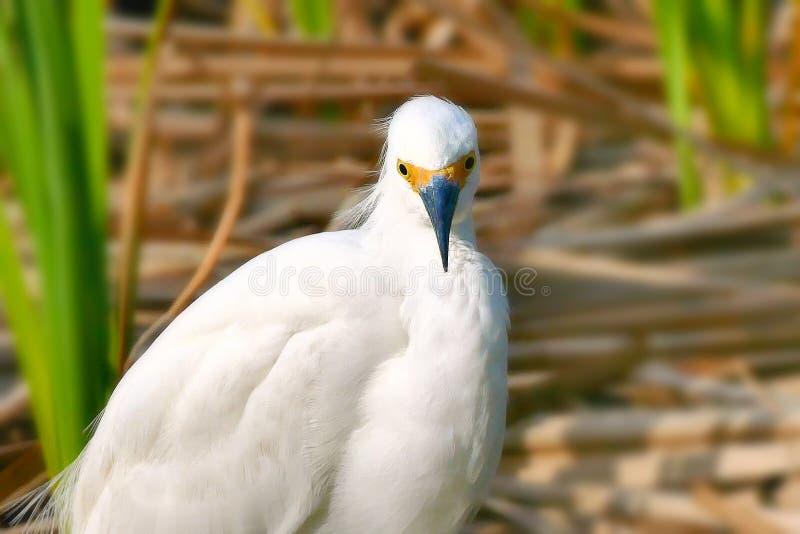 Egret nevado - thula do egretta - uma garça-real branca pequena imagem de stock