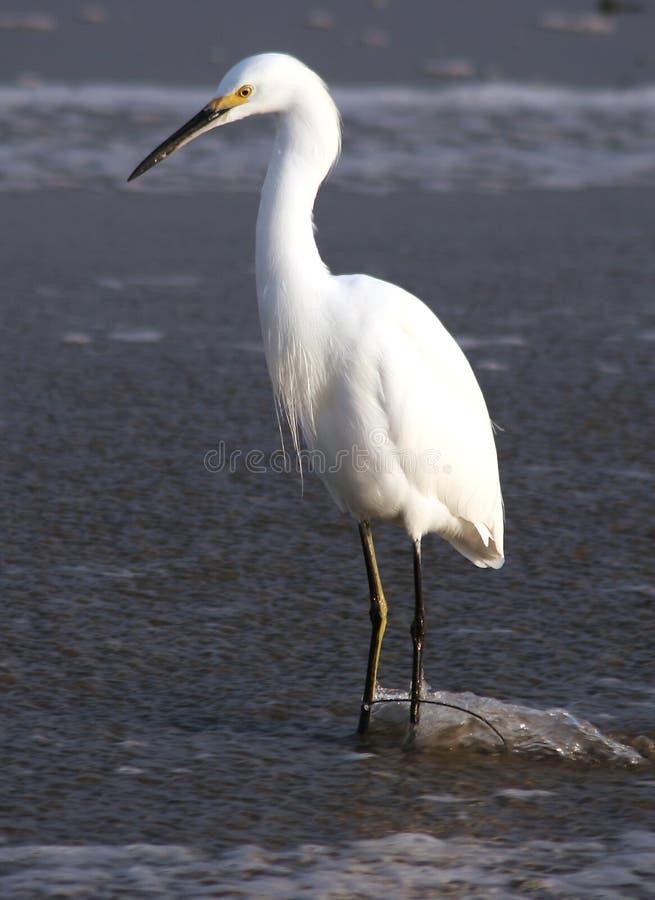 Egret no córrego fotos de stock royalty free