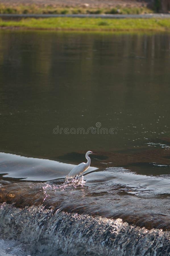 Egret no rio fotografia de stock