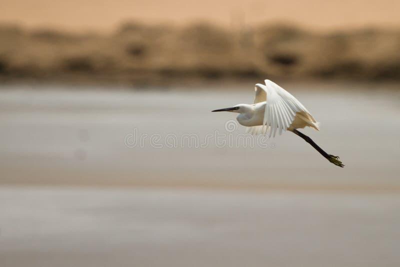 Egret no vôo imagens de stock