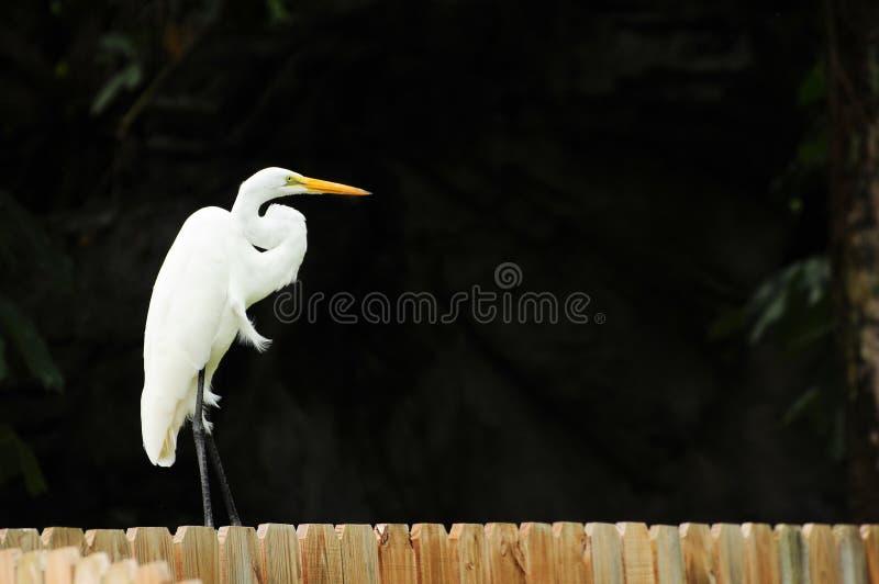 egret ogrodzenie fotografia royalty free