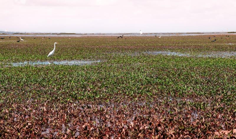 Egret - pássaro da garça-real na paisagem verde de Talay Noi, resevoir do pantanal de Ramsar do lago Songkhla em Phatthalung, Tai imagens de stock