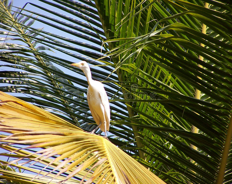 Download Egret on a palm leaf stock photo. Image of green, tree - 146540