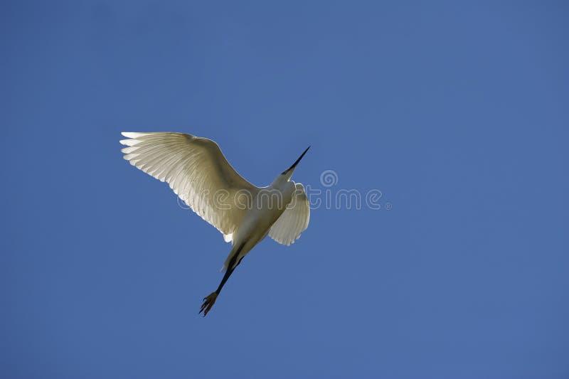 Egret pequeno fotografia de stock