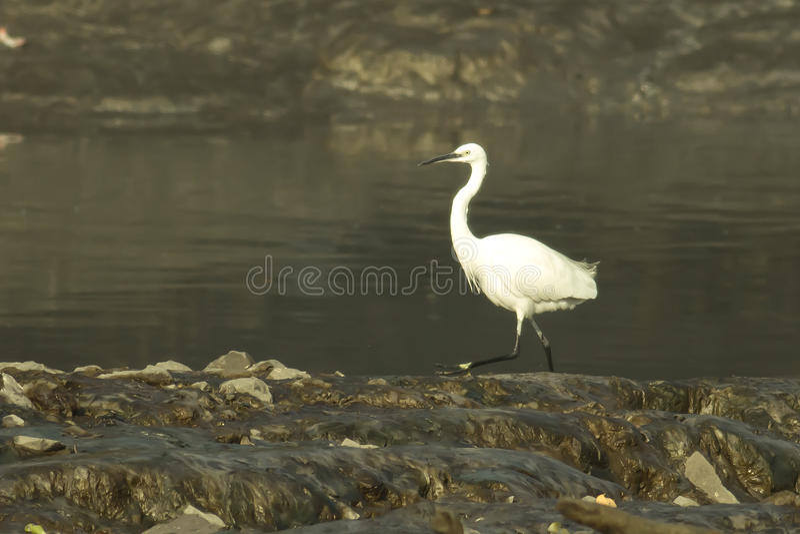 Egret pequeno imagem de stock royalty free