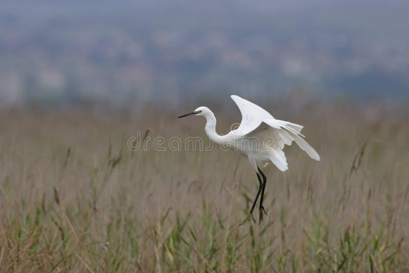 Egret pequeno (Egretta Garzetta) fotos de stock
