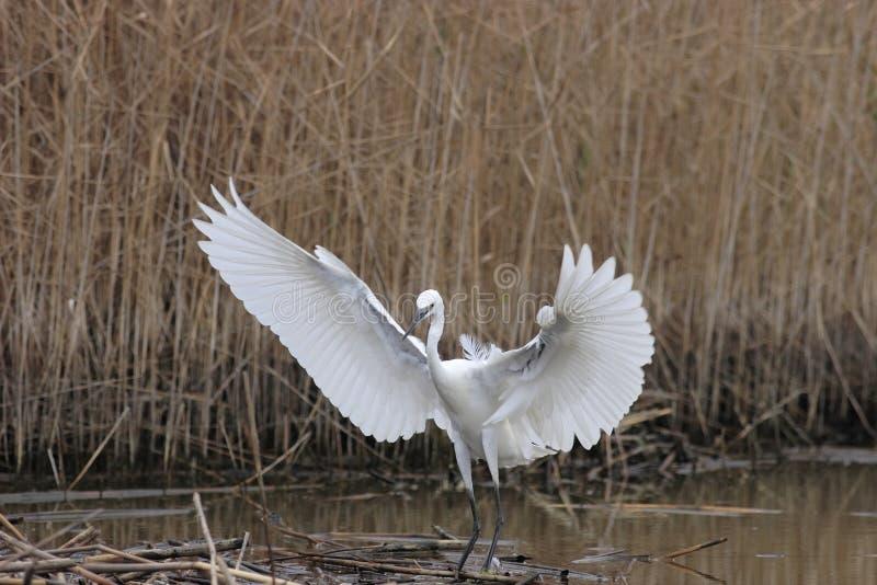 Egret pequeno (Egretta Garzetta) imagem de stock royalty free