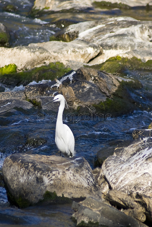 Egret pequeno no rio foto de stock royalty free