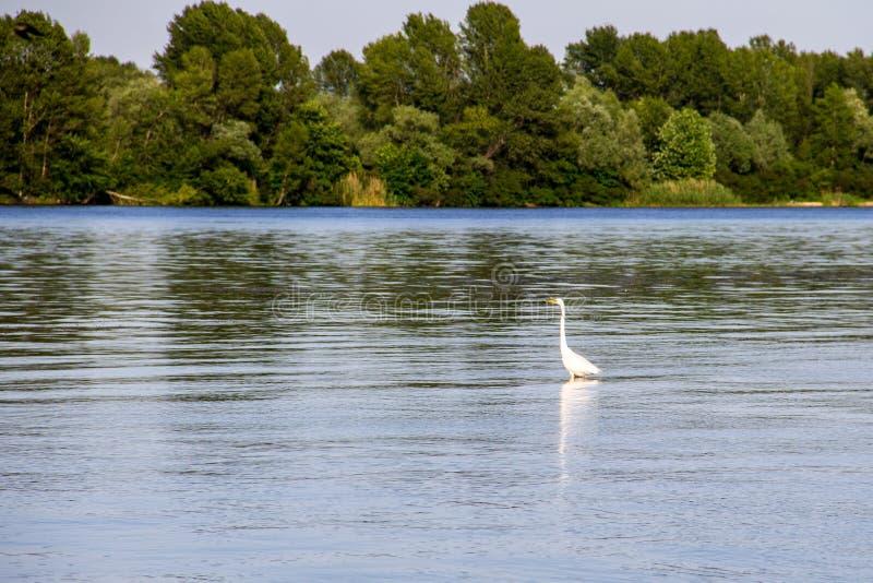 Egret pequeno ou garzetta branco do Egretta da garça-real imagens de stock royalty free