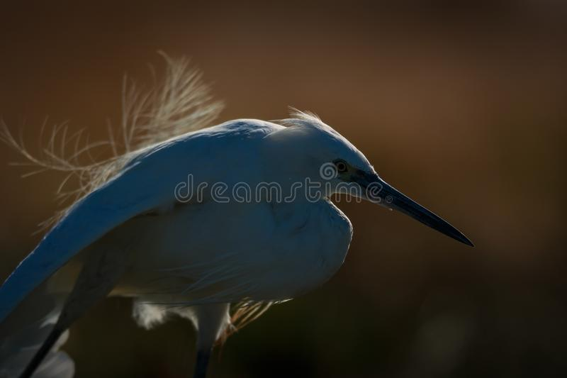 Egret pequeno retroiluminado que estica após enfeitar-se fotos de stock royalty free