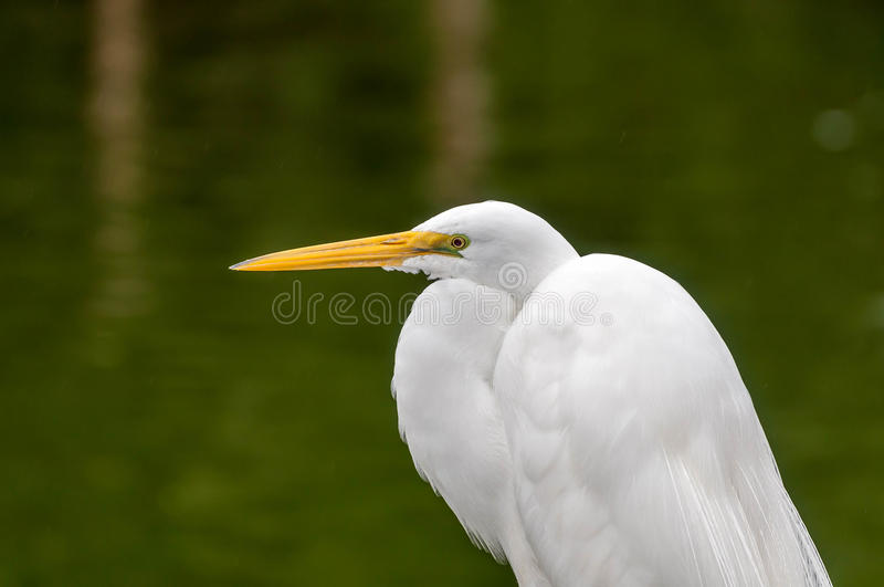 Egret. An Egret perched by the water looking onward stock photo