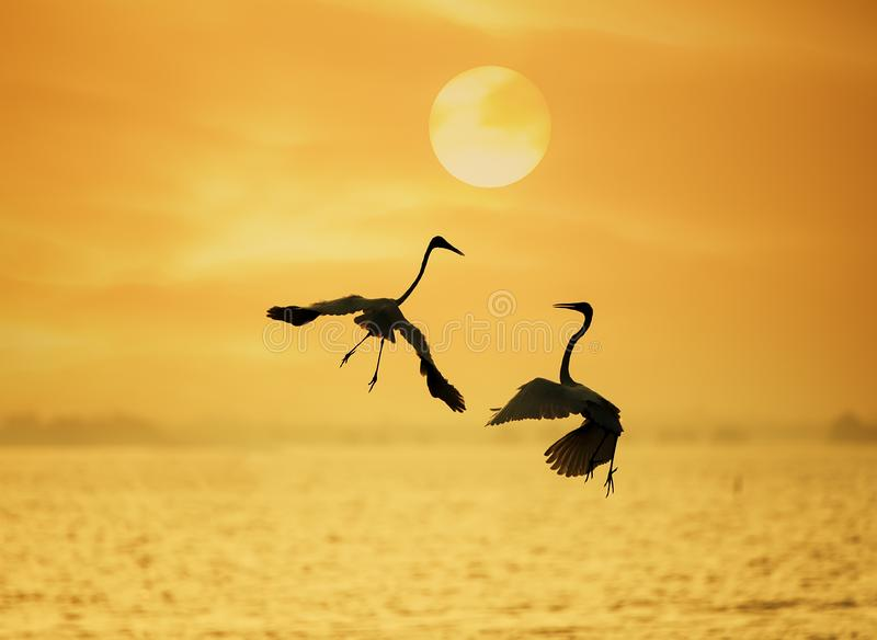 Egret play in water land stock images