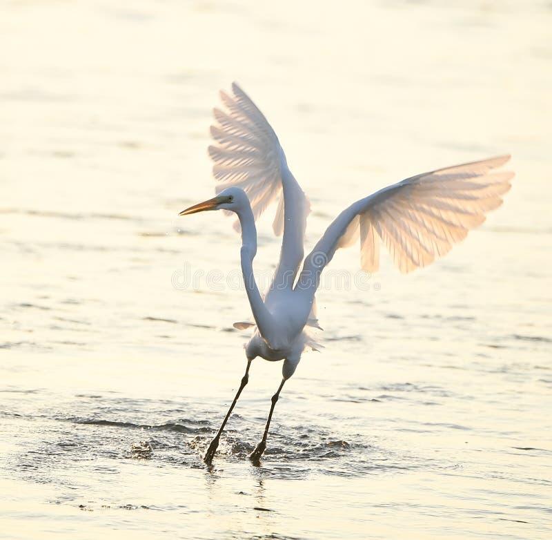 Egret pobyt w wodzie obrazy stock