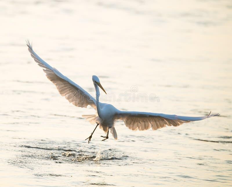 Egret pobyt w wodzie zdjęcie stock