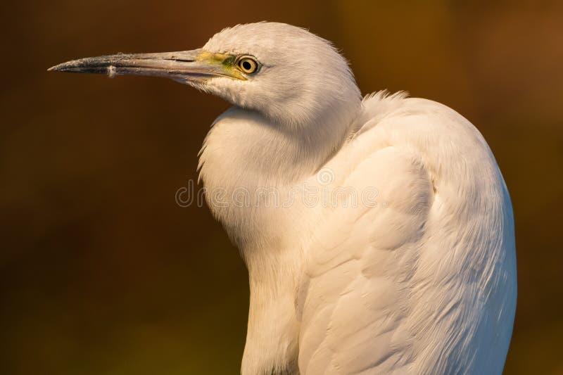 Egret portarit stock image
