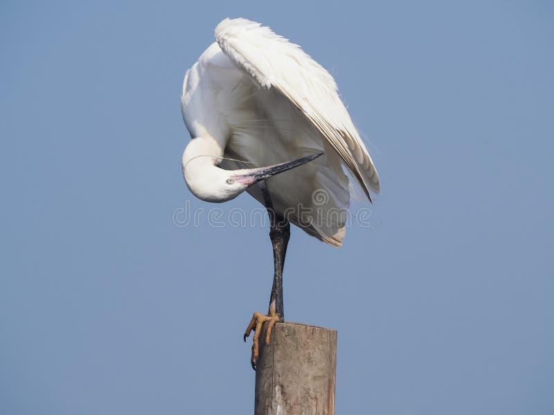 Egret preen itself. royalty free stock photography