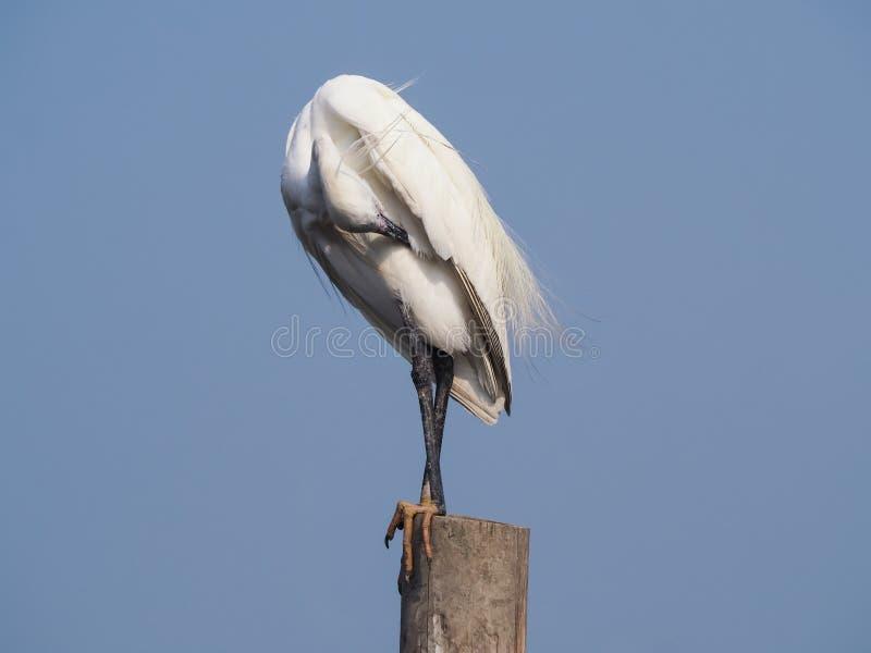 Egret preen itself. stock photos