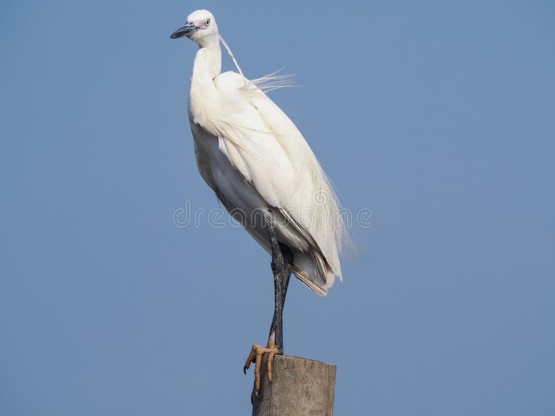 Egret preen itself. royalty free stock photo