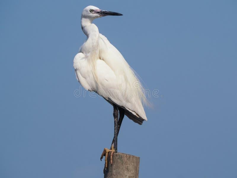 Egret preen itself. royalty free stock photos