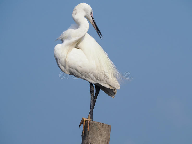 Egret preen itself. royalty free stock images