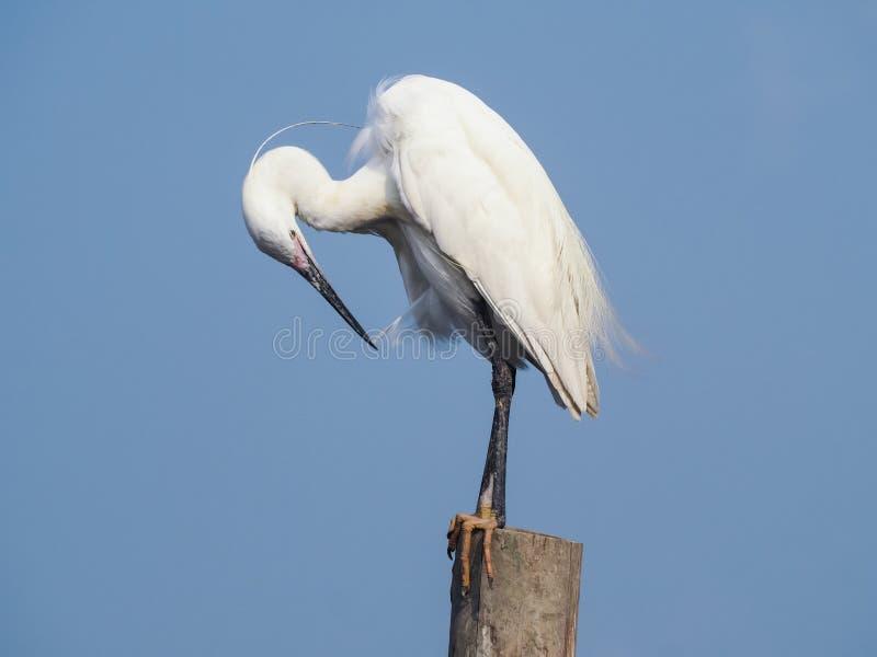 Egret preen itself. stock image