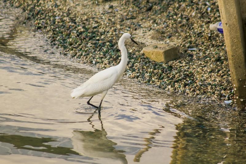 Egret que anda na água imagem de stock royalty free