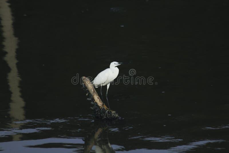 Egret que está em um polo de madeira foto de stock