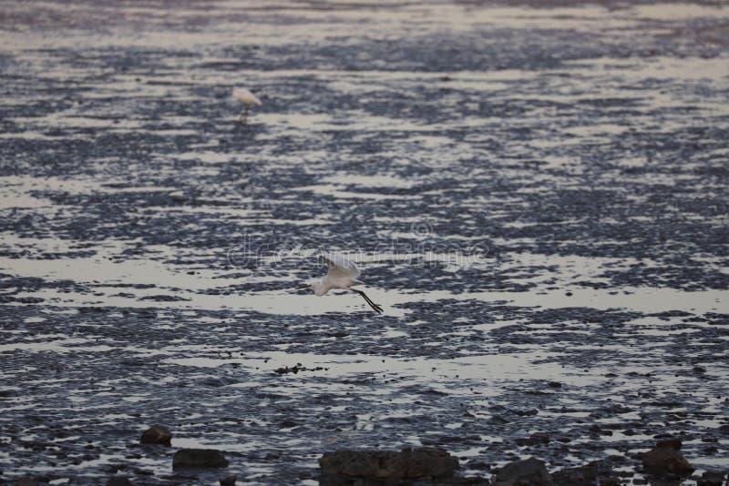Egret que voa baixo sobre a maré baixa na área de mar de Bohai fotos de stock