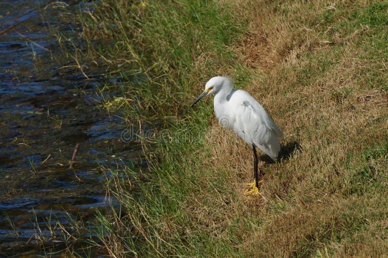 Egret Resing door de Shore van het meer royalty-vrije stock foto's
