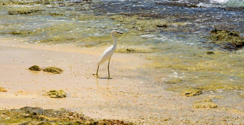 Egret on sea shore royalty free stock photography