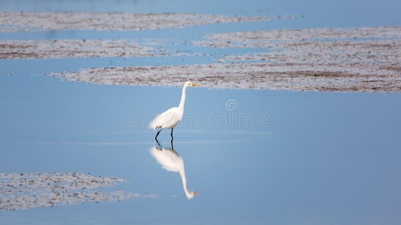 Egret selvagem no Oceano Atlântico, Florida, EUA imagens de stock