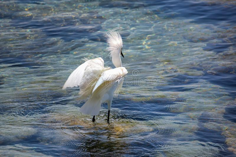 Egret selvagem no Oceano Atl?ntico, Florida, EUA imagens de stock