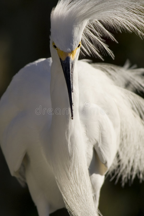 Egret, Snowy royalty free stock images